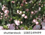 flowering bush of wild roses | Shutterstock . vector #1085149499