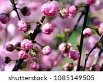 flowering bush of wild roses | Shutterstock . vector #1085149505