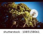 dandelions against the backdrop ... | Shutterstock . vector #1085158061