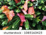 beautiful culor of leaves with... | Shutterstock . vector #1085163425