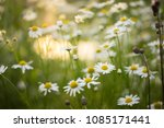chamomile flowers in beautiful... | Shutterstock . vector #1085171441