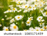 green grass and chamomile...   Shutterstock . vector #1085171459