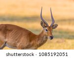 A Solitary Male Puku Antelope ...