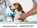 Stock photo cropped image of man holding beagle while veterinarian doing injection by syringe to it 1085204597