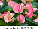Flamingo Lily Anthuriums .