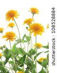 yellow heliopsis isolated on... | Shutterstock . vector #108528884