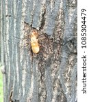 Small photo of Cicada of moult on the bark tree. Animal life cycle.