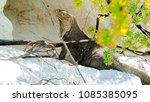 iguana on santiago island in... | Shutterstock . vector #1085385095