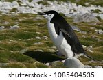 Small photo of Chinstrap penquin / Pygoscelis anthracticus / It is up to 68 centimeters tall, weighing about 4.5 kilograms. It is easy to recognize the narrow black stripe beneath the beak. Roberts island.Antarctica