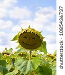 field of ripening sunflowers on ... | Shutterstock . vector #1085436737