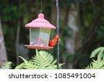 bright red male northern... | Shutterstock . vector #1085491004