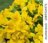 spring blossom of the marsh...   Shutterstock . vector #1085524571