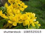 spring blossom of the marsh...   Shutterstock . vector #1085525315
