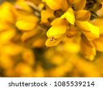 Close Up Detail Of Yellow Gorse ...