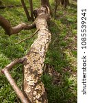 Small photo of plenty of small bracket mushrooms all along fallen tree trunk on ground; essex; england; uk