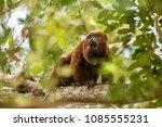 brown howler monkey  alouatta... | Shutterstock . vector #1085555231