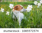 the dog is sniffing flowers ... | Shutterstock . vector #1085572574