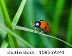 Lonely Ladybird In Green Grass...