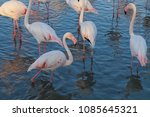 pink big birds greater flamingo ... | Shutterstock . vector #1085645321