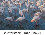 pink big birds greater flamingo ... | Shutterstock . vector #1085645324