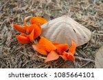 butea monosperma or palash... | Shutterstock . vector #1085664101