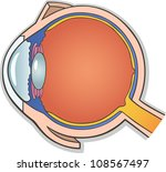 Human eye anatomy free vector art 2722 free downloads medical vector illustration of human eye ball cross section ccuart Images