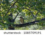 A beautiful red tailed hawk, a bird of prey, is perched high on a tulip poplar branch in summer