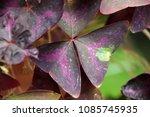 Purple Color Leaves Of Oxalis...