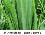 close up of tropical screwpine... | Shutterstock . vector #1085810951
