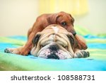 rhodesian ridgeback puppy and... | Shutterstock . vector #108588731