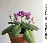 Small photo of African Violet ..blooming
