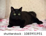 fat black bombay cat | Shutterstock . vector #1085951951