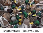 many ducks on snow in winter | Shutterstock . vector #1085952107