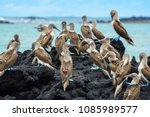 Blue Footed Boobies On A Rock ...