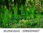 a couple of young shoots of... | Shutterstock . vector #1086004667