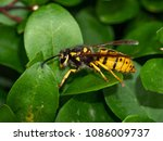 vespula germanica  european... | Shutterstock . vector #1086009737