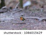 robin  erithacus rubecula  on...   Shutterstock . vector #1086015629