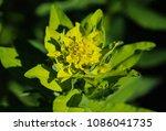 close up macro of marsh spurge...   Shutterstock . vector #1086041735