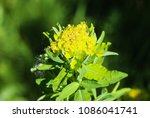 close up macro of marsh spurge...   Shutterstock . vector #1086041741