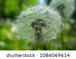close up dandelion flower in... | Shutterstock . vector #1086069614