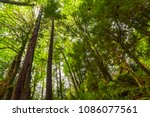 tall trees of the rain forest... | Shutterstock . vector #1086077561