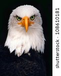 Bald Eagle Isolated Over Black