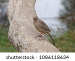 jungle babbler on trunk of tree ... | Shutterstock . vector #1086118634