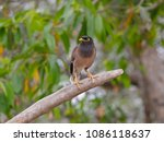 indian mynah sitting on dry... | Shutterstock . vector #1086118637