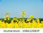 rapeseed field with with blue... | Shutterstock . vector #1086120839