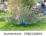 peacock with his plumage open... | Shutterstock . vector #1086136844