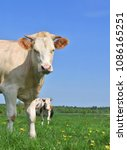 cows  on a summer pasture.  | Shutterstock . vector #1086165251