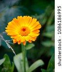 orange flower of calendula...   Shutterstock . vector #1086186995