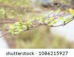soft effect  tree branch with... | Shutterstock . vector #1086215927