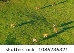 swiss cows graze on green... | Shutterstock . vector #1086236321